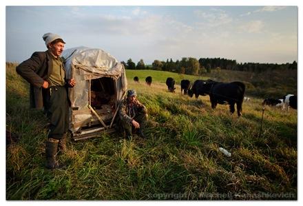 Cow-herders-field