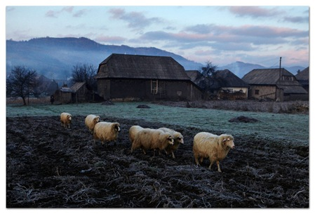 sheep-in-the-morning