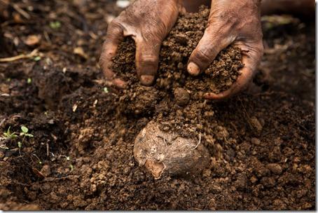 planting yam